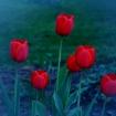Platz 27 - Rote Tulpen - Fotograf Siegfried Mischke