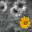 Platz 9 - Sonnenblume - Fotograf Carsten Tietze